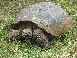 Alvaro Sevilla Design foto de la Tortuga Galapagos Isla Santa Cruz.jpg