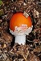 Amanita muscaria qtl1.jpg