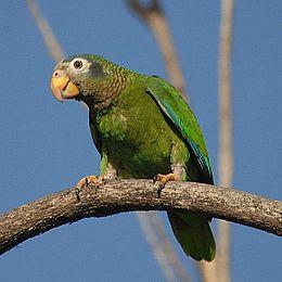 Amazona collaria -St. Andrew -Jamaica-8a-3c