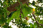 Amazona oratrix -eating in tree-8.jpg
