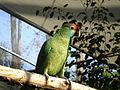 Amazona rhodocorytha -RSCF-4e.jpg
