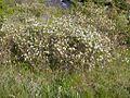 Amelanchier alnifolia (3289593124).jpg