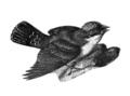 Americana 1920 Kingbird.png