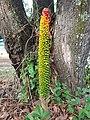 Amorphophallus paeoniifolius fruits (Philippines) 2.jpg