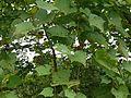 Ampelocissus latifolia (6073508447).jpg