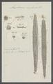 Amphinome complanata - - Print - Iconographia Zoologica - Special Collections University of Amsterdam - UBAINV0274 102 03 0006.tif