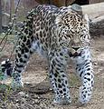 Amur Leopard 4 (5017707785).jpg