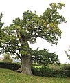 An ancient hollow oak in the grounds of Raglan Castle - geograph.org.uk - 1531272.jpg