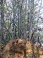An uprooted tree saving itself (detail) - geograph.org.uk - 1586432.jpg