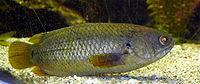 Anabantidae