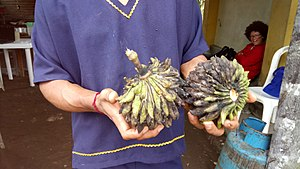 Quijos-Quichua - Chirimoya - a fruit cultivated by the Quijos in the Amazon.
