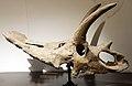 Anchiceratops skull Royal Tyrrell.jpg