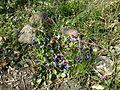 Andrena vaga 03942.jpg