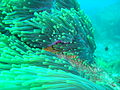 Anemone at Batfish Pinnacledsc04305.jpg