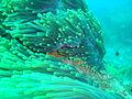 Anemone at Batfish Pinnacledsc04305.jpg