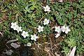 Anemone flaccida s14.jpg