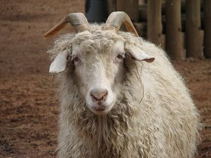 Goat farming - An Angora goat