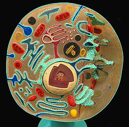 Animal Cell Cross Section Model