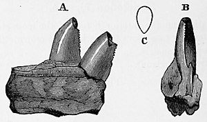 Ankistrodon - Holotype in (A) lateral and (B) posterior views, with (C) a cross section of a tooth