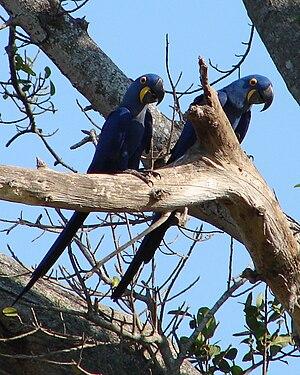 Anodorhynchus hyacinthinus -Brazilian Pantanal-8.jpg