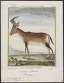 Antilope caama - 1700-1880 - Print - Iconographia Zoologica - Special Collections University of Amsterdam - UBA01 IZ21400131.tif