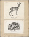 Antilope dorcas - 1700-1880 - Print - Iconographia Zoologica - Special Collections University of Amsterdam - UBA01 IZ21400069.tif