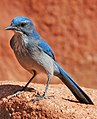 Aphelocoma woodhouseii (Woodhouse's scrub jay) (Garden of the Gods, Colorado Springs, Colorado, USA) 3 (49176522317).jpg