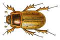 Aphodius sordidus.png