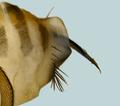 Apocephalus borealiscommonsAdultFemale OvipositorDetail.png
