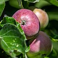 Apple NZ7 0230 (50176805322).jpg