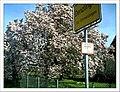 April Magnolia grandiflora Frühling Denzlingen - Master Seasons Rhine Valley 2013 - panoramio.jpg