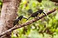 Araçari-de-bico-branco (Pteroglossus aracari) - Black-necked Aracari.jpg