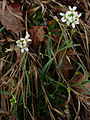Arabidopsis lyrata - Lyre leaved rock cress.jpg
