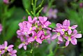 Arabis blepharophylla Spring Charm 5zz.jpg