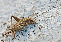 Arachnocephalus vestitus (2005-08-14).jpg