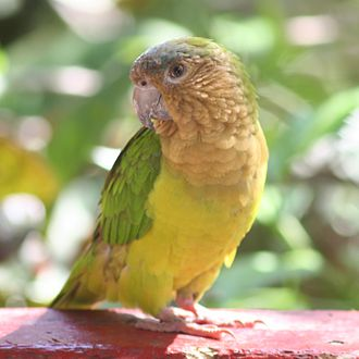 Brown-throated parakeet - Eupsittula pertinax aeruginosa in the Caribbean Region of Colombia