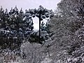 Araucária coberta de neve.jpg
