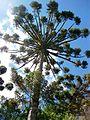 Araucaria angustifolia (Bertol.) Kuntze, PNMMO.jpg