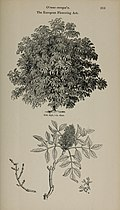 Arboretum et fruticetum britannicum, or - The trees and shrubs of Britain, native and foreign, hardy and half-hardy, pictorially and botanically delineated, and scientifically and popularly described (14783705292).jpg