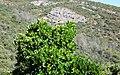 Arbutus unedo (arbusto) (49096826216).jpg