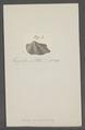 Arca triundulata - - Print - Iconographia Zoologica - Special Collections University of Amsterdam - UBAINV0274 076 04 0029.tif