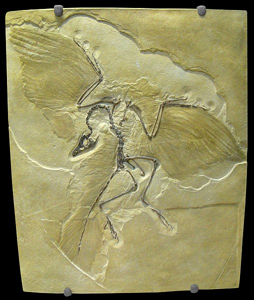 File:Archaeopteryx lithographica - IMG 0679.jpg