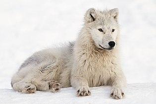Arctic Wolf in Montebello, Québec, Canada.jpg