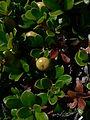 Arctostaphylos uva-ursi 23043.JPG