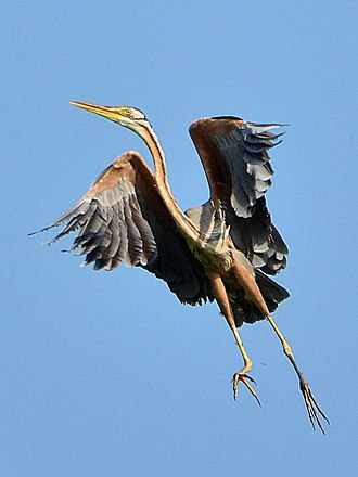 Purple heron - Subspecies manilensis in North Sulawesi, Indonesia showing long toes