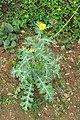 Argemone mexicana - Mexican Prickly Poppy - at Beechanahalli 2014 (6).jpg