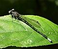 Argia species (42235104024).jpg