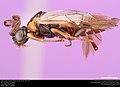 Argid sawfly (Argidae, Schizocerella lineata (Rohwer)) (36806969114).jpg