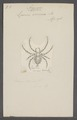 Argyopes - Print - Iconographia Zoologica - Special Collections University of Amsterdam - UBAINV0274 068 02 0012.tif