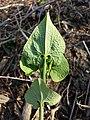 Aristolochia clematitis sl14.jpg